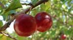 Bez znajomości języka oferta pracy w Holandii przy zbiorach owoców twardych Venlo