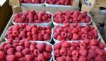 Praca w Niemczech na plantacji przy zbiorach owoców miękkich bez języka