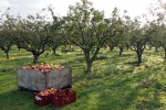 Praca w Holandii bez znajomości języka przy zbiorach owoców Zwolle