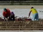 Oferta pracy w Niemczech przy zbiorach szparagów od zaraz bez doświadczenia 2015 Hesja