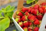Holandia praca przy zbiorach truskawek w szklarni Bemmel bez języka 2015