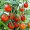Bez języka praca w Norwegii przy zbiorach pomidorów w szklarni Elverum