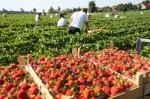 Norwegia praca sezonowa w Magnor przy zbiorach truskawek bez języka 2015