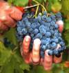 Praca Anglia w Watlington zbiory winogron od zaraz bez znajomości języka