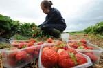 Anglia praca dla studentów bez języka przy zbiorach truskawek Ashford