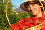 Praca Holandia w Bemmel przy zbiorach truskawek w szklarni bez języka