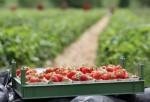 Oferta sezonowej pracy w Anglii przy zbiorach truskawek, malin bez języka