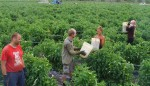 Niemcy praca sezonowa w Scharringhausen bez języka przy zbiorach truskawek