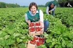 Dam pracę w Niemczech przy zbiorach truskawek bez języka Deindrup 2016