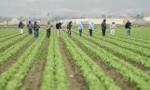 Dam sezonową pracę w Anglii zbiory warzyw bez języka od zaraz Lincolnshire