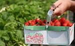 Niemcy praca sezonowa przy zbiorach truskawek bez znajomości języka Jülich-Broich