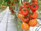 Dam pracę w Holandii przy zbiorze pomidorów od zaraz w szklarni dla Polaków