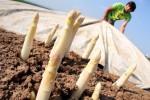 Oferta pracy w Niemczech od zaraz przy zbiorach szparagów na polu Hannover